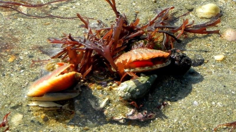 Coquillage sur l'estran à Binic- Étables-sur-mer