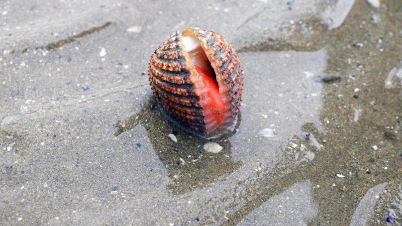Coquillage de l'estran à Binic- Étables-sur-mer