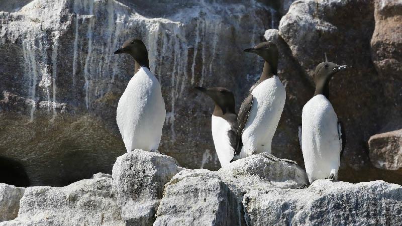 Guillemots dans la réserve Marine Cap d'Erquy - Cap Fréhel