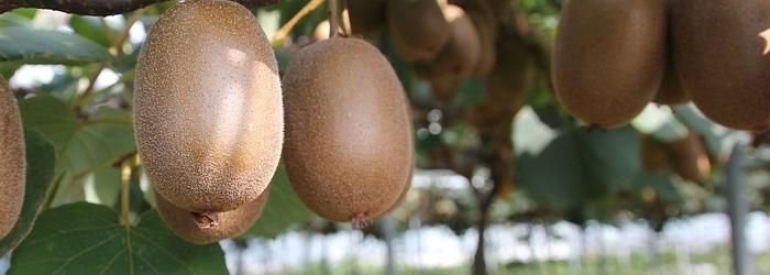Découvrir les fameux kiwis bio des Vergers du Cap Coz