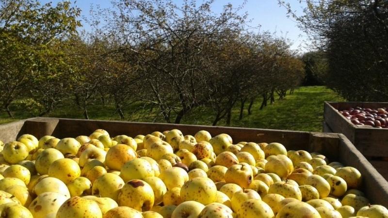 Les pommes du verger de Menez Brug